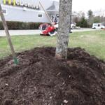 Improper Tree Mulching